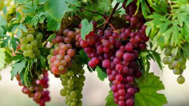 صورة 6 فوائد صحية هامة لتناول العنب