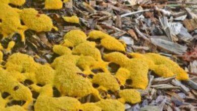 صورة الفطر الأصفر يُثير الذُعر في الهند بعد الأسود والأبيض