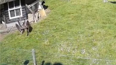 """صورة """"صقر"""" يحاول اختطاف دجاجة من مزرعة هولندية"""